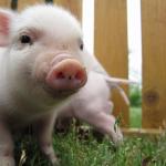 ペットのミニブタの値段は?気になる寿命や飼育方法!飼うと病気になる?