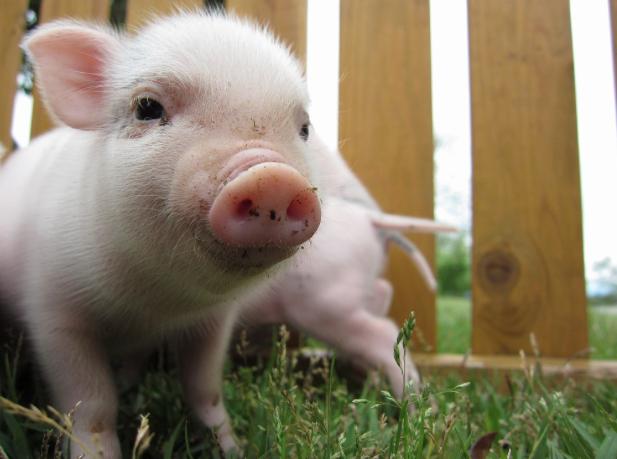 「ミニ豚」の検索結果_-_Yahoo_検索(画像)