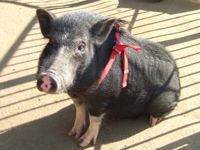 「ミニ豚_寿命」の検索結果_-_Yahoo_検索(画像)