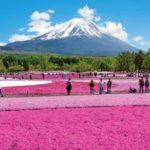 芝桜とはどんな花?花見時期と花言葉を色別に調査!