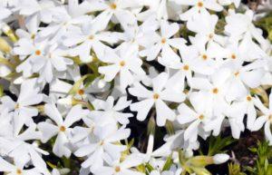白色や青系の芝桜の花言葉