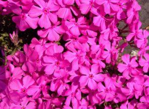 濃いピンク色の芝桜の花言葉